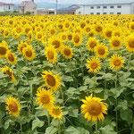 藍住町の向日葵田には展望台まで設けられていました。  ・展望の台も作られ向日葵田(和良)