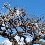 徳島市の万福寺では境内の白梅が綺麗な花をつけていました。      ・梅咲いて寺苑明るくなりにけり(和良)