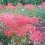 石井町の農業大学跡地には曼殊沙華が咲き満ちていました。       ・咲きっぷり噴火せしごと曼殊沙華(和良)