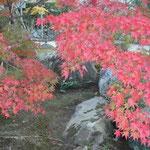 世界文化遺産に登録された京都嵐山の天龍寺は紅葉の見ごろでした。  ・石庭の紅葉いよいよ紅葉色 (和良)