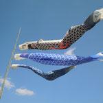 美馬市脇町の広棚で見た鯉幟です。よく泳いでいました。                                ・吹く風に命をもらひ鯉幟(和良)