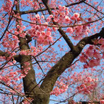 品川の荏原神社の寒緋桜です。紅の濃い桜でした。満開になっていました。  ・神木の寒緋桜の満開に(和良)