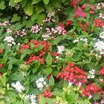 秋雨の後の上野公園の花壇は一つ一つの花が輝いて見えました。     ・秋の雨花壇の色を極めけり(和良)