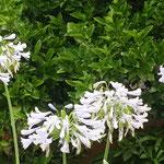 アガパンサスの花の色は今にも雨を呼びそうに見えました。       ・雨を呼ぶアガパンサスの花の色(和良)