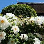 一株に五十を数える白牡丹が咲き競っていました。           ・鐘の鳴るたびにさ揺れて白牡丹(和良)