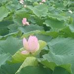 北島町の蓮根畑で見た大雨の後の蓮の花です。             ・たっぷりと降りたる朝の蓮の花(和良)