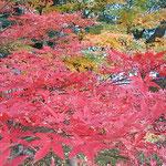旧芝離宮恩賜庭園で見た冬紅葉です。綺麗でした。             ・艶やかに色の極まる冬紅葉(和良)