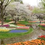 国営昭和記念公園では残花とチューリップが美を競っていました。    ・花屑の流るる岸辺チューリップ(和良)