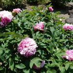 神宮寺の牡丹は咲き始めたばかりで甘い香りがしました。 ・咲き初めしぼうたんの香の満てる寺(和良)