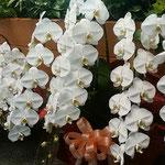 新年早々の華道展に室咲の胡蝶蘭が飾られていました。  ・華道展会場飾る室の蘭(和良)