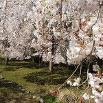 神山町では日本一しだれ桜の咲く里を作ろうと毎年植樹しています。   ・日本一しだれ桜を咲かさんと(和良)