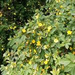 滝のやき餅屋の裏庭では崖の上まで黄花亜麻が咲き競っていました。   ・正面に黄花亜麻見る二月句座(和良)