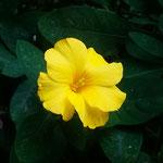 黄花亜麻は徳島で余生を送ったモラエスの花としても知られています。・冬枯れの庭に愛しき黄花亜麻(和良)