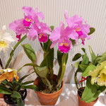 徳島市のあすたむらんどのこども科学館で蘭の展示会がありました。 ・室咲の蘭の明るき展示会(和良)