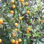 徳島にも雪が降りました。庭の金柑にも少し積もりました。                               ・わが庭の金柑雪に色増せる(和良)