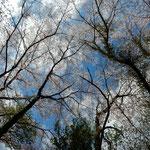 桜の大木を仰ぎ見ると落花が途切れなく顔にかかりました。・青空を仰げば落花途切れなく(和良)