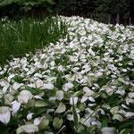 東京は北品川の朝、糠雨に浮かぶ半夏生の白が幻想的でした。  ・雨の日の白の妖しき半夏生(和良)