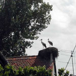 ルーマニアの田舎町で出合ったコウノトリです。彫刻かと思いました。 ・高き巣のコウノトリかな旅の空(和良)