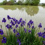 阿波市土成町の九番札所・法輪寺前の畔にあやめが咲いていました。   ・水田の畔に群れ咲くあやめかな(和良)