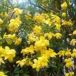 この迎春花は色あせることなく咲き継いでいました。  ・咲き継ぎてなほも鮮やか迎春花(和良)