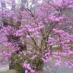 あきる野市では大木の躑躅が紫色の花を付けていました。          ・山門に躑躅の大樹ある古刹(和良)