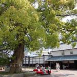 金比羅の酒の老舗の大樟です。休憩所に緋毛氈が敷かれていました。  ・天狗来してふ老樟の若葉かな(和良)