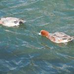 吉野川市鴨島町の江川で見た鴨です。上手な泳ぎっぷりに感心しました。  ・鴨泳ぐ前のめりして水を蹴り(和良)