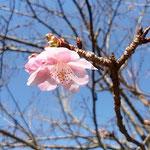 五番札所と四番札所の間の遍路宿の跡に桜が咲き始めていました。    ・遍路宿ありたる跡に初桜(和良)