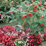 ジュネーブにある国連欧州本部の庭で真っ赤な芙蓉の花に逢いました。 ・ジュネーブの国連に来て花芙蓉(和良)