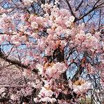 蜂須賀桜には目白や椋鳥などの小鳥がたくさん来ていました。      ・九部咲きの花をさ揺らし散らすもの(和良)
