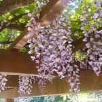 「桜を見る会」が開かれた新宿御苑の日本庭園で見た藤の花です。    ・ひっそりと御苑の庭の藤の花(和良)