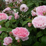 藍住町の薔薇園では薔薇の甘い香りが満ち満ちていました。       ・薔薇園のどっと寄せ来る香りかな(和良)