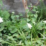 藍住町の自宅の庭に今年も百合の花が咲きました。   ・ゆっくりと蕾を開き百合の花(和良)