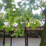 阿波の法隆寺と言われる丈六寺では木豇豆の大樹が実っていました。                        ・木豇豆の大樹の実る寺の秋(和良)