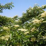 眉山ではいたるところに水木の花が咲いていました。                      ・水木咲く湧水多き眉山かな(和良)