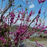 神宮寺の花蘇枋は青空を背に美しく輝いて見えました。  ・青空に色美しき花蘇枋(和良)