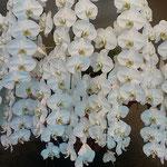 徳島市内にある銀行の本店ロビーに胡蝶蘭が飾られていました。 ・正面のロビー生き生き胡蝶蘭(和良)