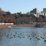 東京・上野の不忍池で見た浮寝鳥です。すごい数でした。 ・不忍の池乗つ取りて鴨の陣 (和良)