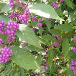 吉野川市藤井寺の門前の畑に紫式部が実をつけていました。  ・実むらさき遍路の宿は畳まれて(和良)