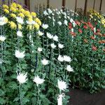 新宿御苑の江戸菊花壇には江戸の人々に愛されてきた菊が並んでいました。 ・江戸の世を今に御苑の菊花展(和良)