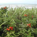 千里浜の渚を走りました。浜茄子が真っ赤な実をつけていました。 ・浜茄子は実に千里浜の海荒れて (和良)