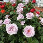 紫がかった青い薔薇が一際人目を引いていました。            ・夜見たしブルームーンと名づく薔薇(和良)