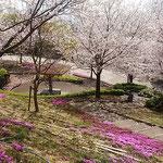 徳島市のとくしま植物園の市民の森では桜と芝桜が競演していました。  ・春の来て色美しき公園に(和良)