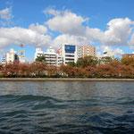川から見る大阪の街は両岸に紅葉した桜並木があり風情がありました。  ・両岸に桜紅葉の川巡る(和良)