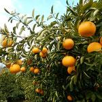 石井町の農業大学は廃校になりましたが、多品種の蜜柑が実っていました。    ・いろいろな蜜柑の実る実習地(和良)