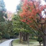 国会の庭園には全国の県木が植えられています。紅葉が綺麗でした。     ・県木の庭の錦木紅葉かな(和良)