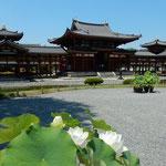 平等院鳳凰堂では真夏の太陽に白い蓮の花が輝いて見えました。     ・日盛りに白のまぶしき蓮の花(和良)