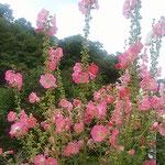 阿波史跡公園の入口の立葵は天辺の方まで花をつけていました。     ・天辺へ天辺へ花立葵(和良)