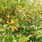 吉野川市の藤井寺の門前では完熟の酢橘の木が剪定されていました。       ・剪定す鈴生りの実の重さかな(和良)