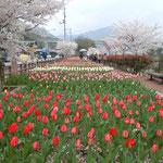美馬市脇町のデ・レイケ公園のチューリップと桜です。                                  ・原色の並ぶ明るさチューリップ(和良)
